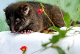 A baby possum with dark fur lies prone on a white cloth.