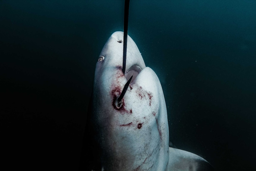 dying shark with hook in mouth