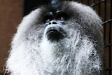 A close up shot of a macaque, looking upwards, it's white and black hair highlighted.