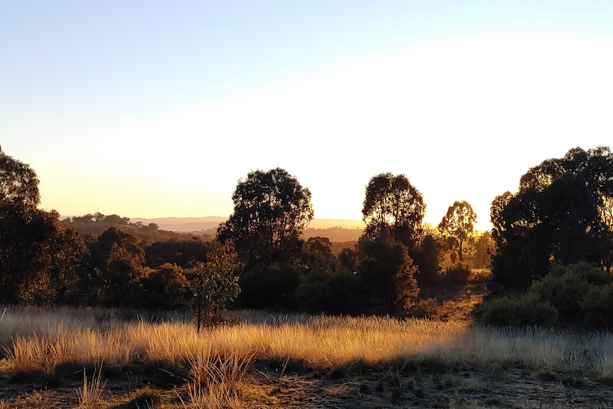 Forest at late afternoon at Tarcutta Hills