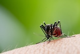 A close-up of an Aedes Aegypti mosquito biting a person.