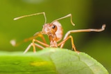 A fire ant stands on a green leaf.