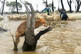 A herd of sheep is loaded onto a dinghy in floodwaters with a fox sitting on a tree stump in the foreground.