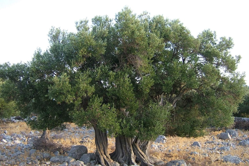 Millennial olive trees