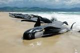 Pilot whales stranded on Tasmanian beach