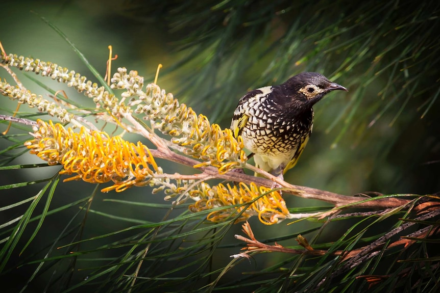 A female Regent Honeyeater, at Lake Cathie on the NSW mid-north coast.