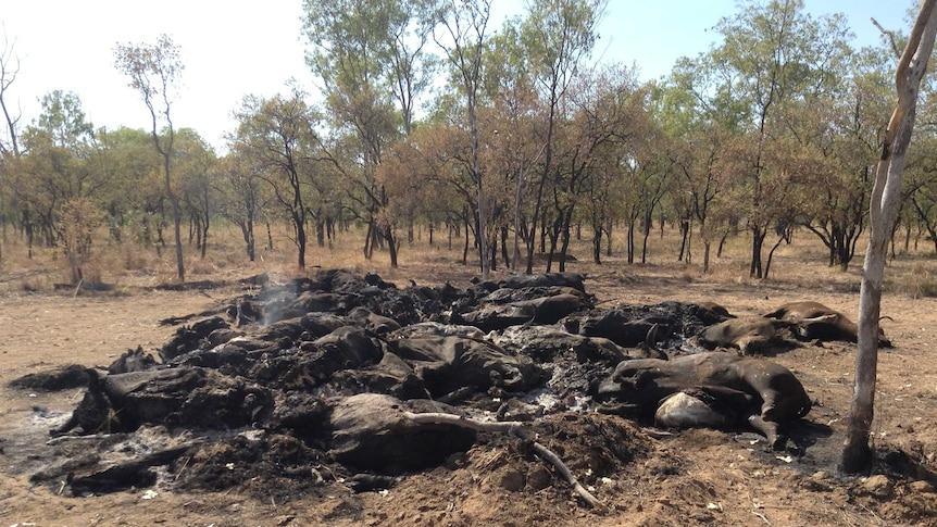 Cattle burned