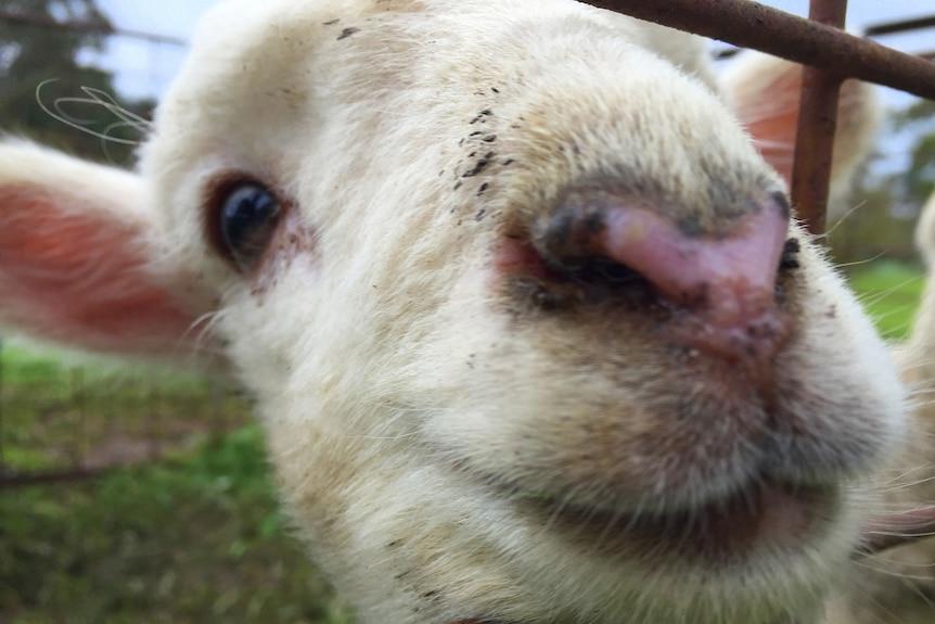 Australian wool producers celebrate