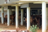 Image of horses sheltering under the eaves of a disused building in Warmun, Western Australia.
