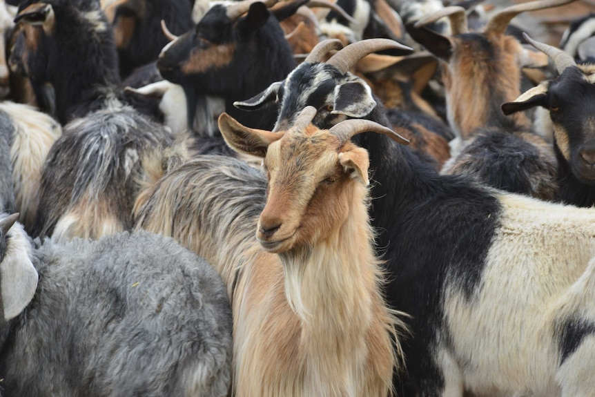 A group of feral goat.