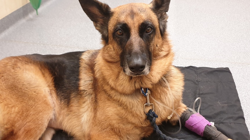 """One of the dogs who has been unwell is Andrew Lawrence's German Shepard """"Maggie"""""""