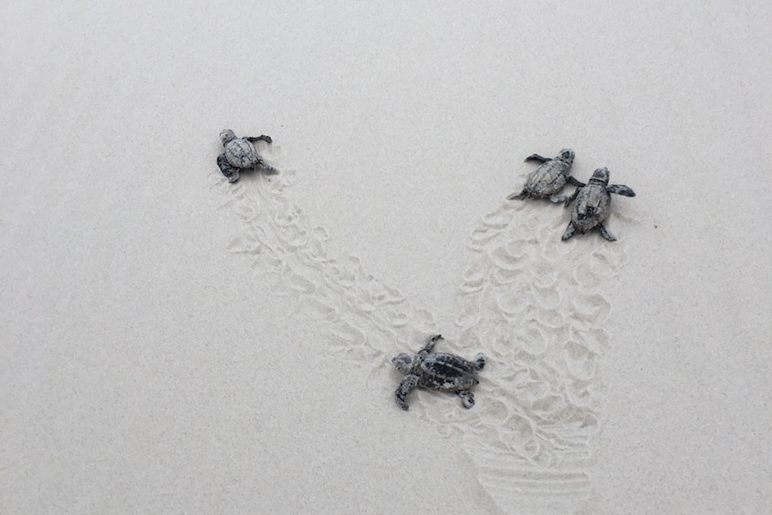 Four baby turtles on a beach