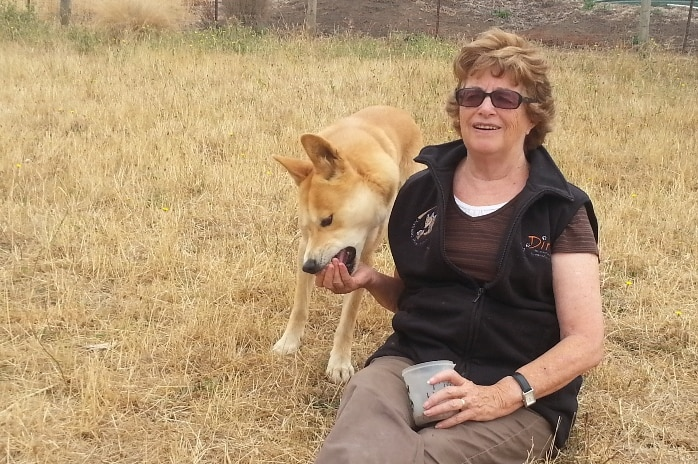 A woman sits on dry grass with her legs out, while a dingo eats from her right hand.