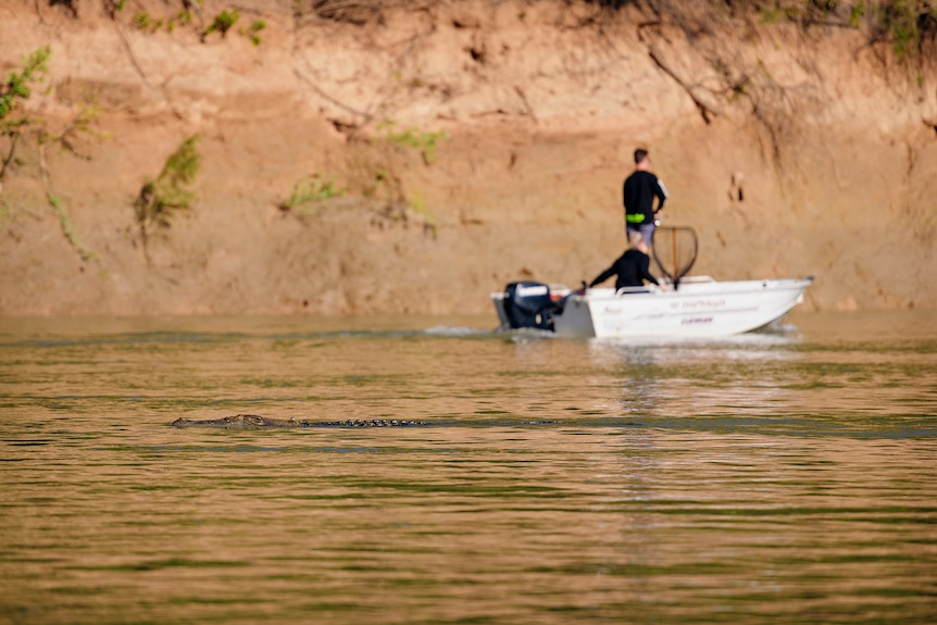A crocodile moves through the Daly River near fishos.