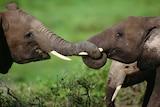African elephants play