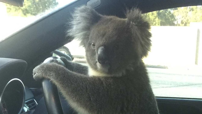 A koala clings to the steering of a car