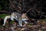 A quoll in bushland, looking alert and ready to spring into action.