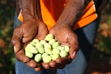 Man holds native seeds in his hands.
