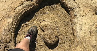 A person wearing a sneaker puts their foot inside a large round imprint left by a large sauropod dinosaur.