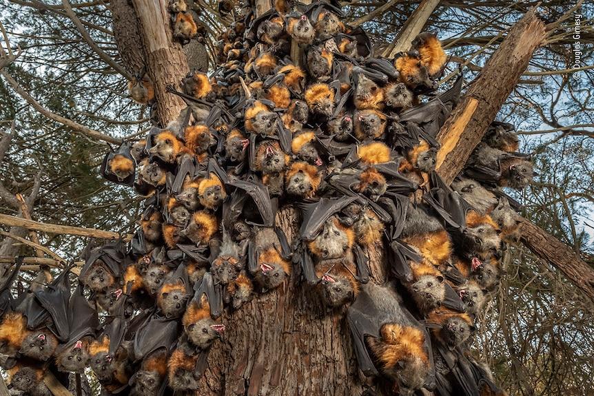 Innumerables zorros voladores cuelgan del camión de un árbol.