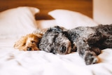 Two dogs sleeping on bed for story about how often to wash bed sheets