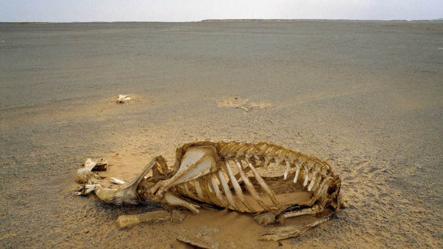 A camel skeleton in the foreground with a dry desert in the background.