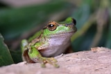 A silver and green spotted tree frog sits on a log