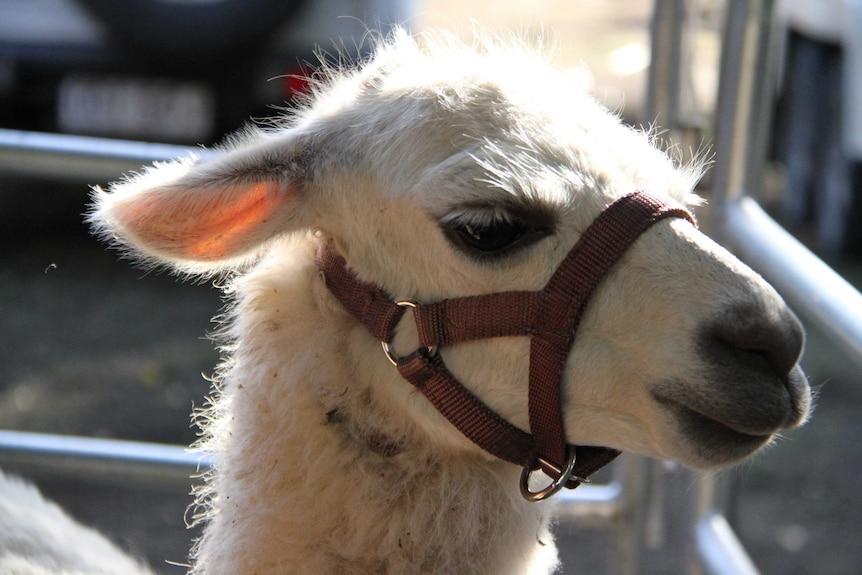 Close profile shot of white llama standing in sunshine