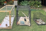 Three cages sit on a lawn, and two of the cages have birds in them.