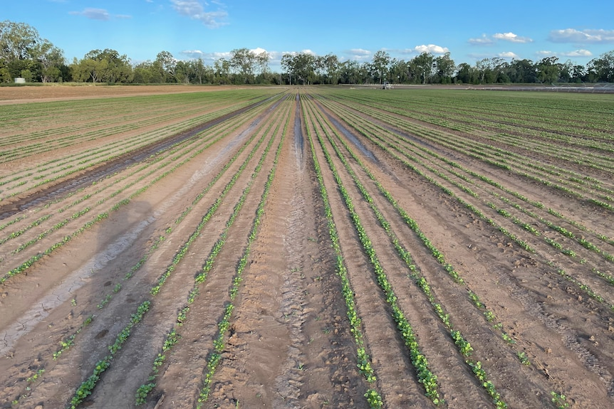 Small rows of green herbs, light brown mud/soil and trees, blue sky behind.