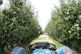 Backpackers harvesting pears in Victoria's Goulburn Valley