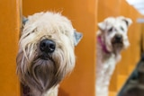 Dogs at the Royal Adelaide Show