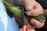 An orange bellied parrot in Tasmania's south-west is tagged for counting