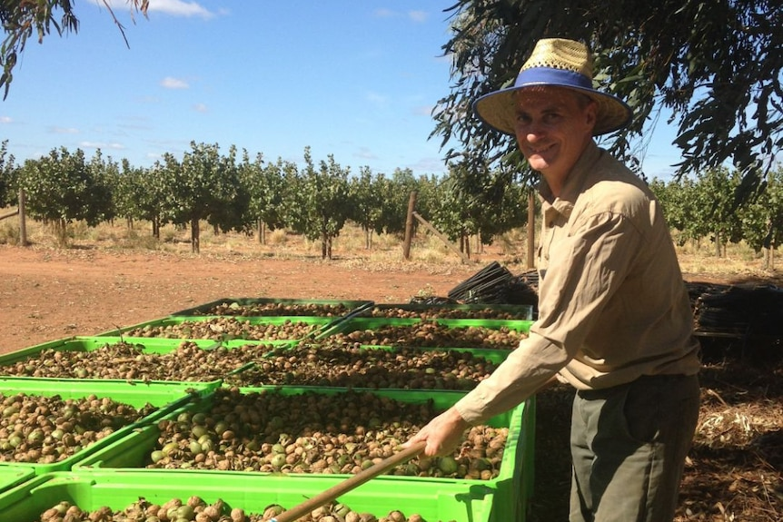a man is sorting through walnuts with a rake on his farm