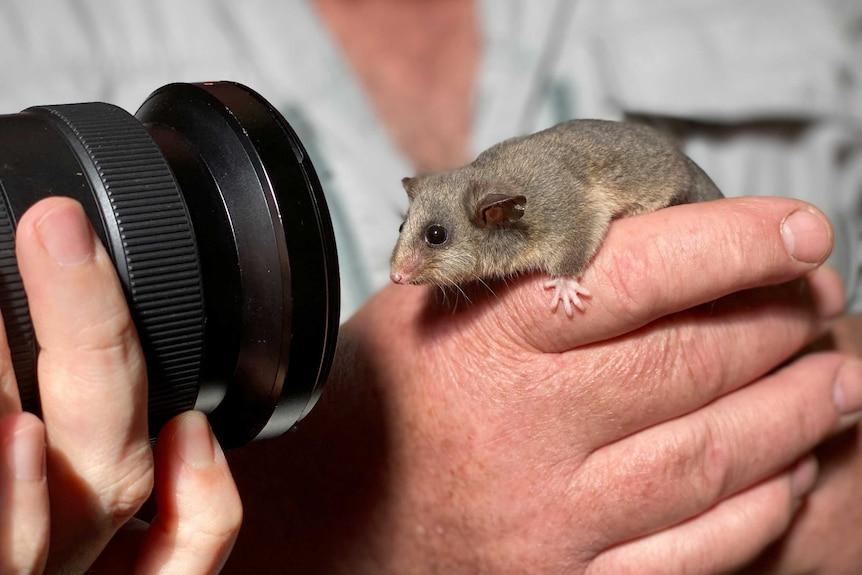A tiny possum on a carer's hand.