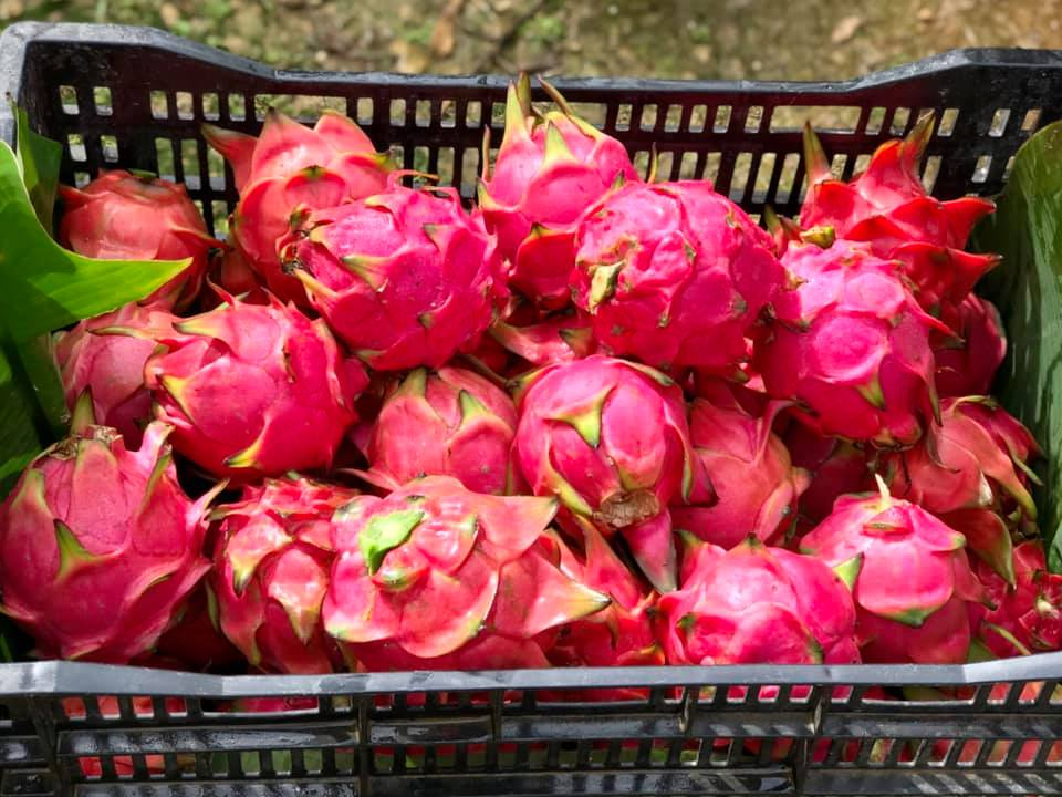 A photo of Dragon Fruit picked and packed into a box.