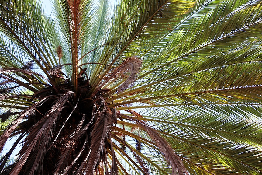 The view from under a tall date palm, looking through the fronds.