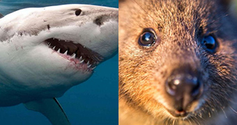 A composite image of a great white shark and a quokka side by side.
