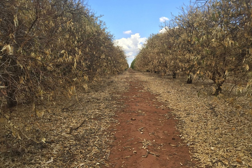 Citrus trees dying without water.