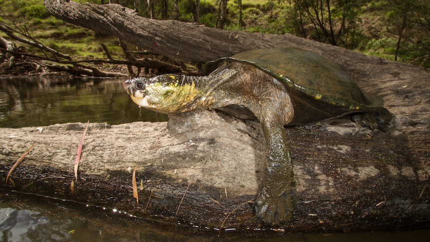 A turtle with a long neck sitting on a log beside a river