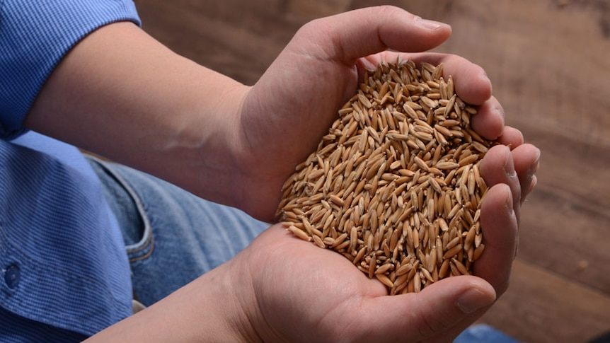 A hand full of unprocessed oats.