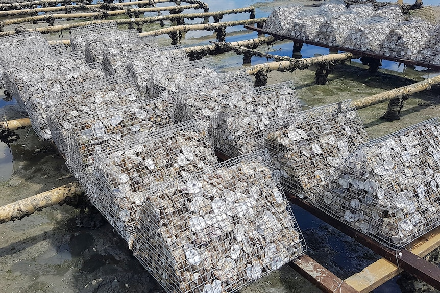 Photo of oyster shells in cages on a rack