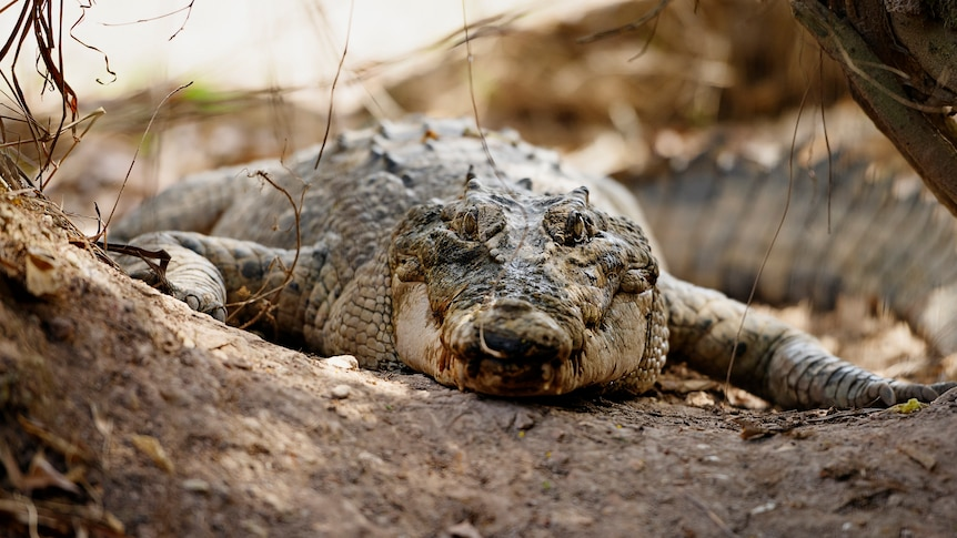 A crocodile lays on the bank of the river at Crocodylus Park.