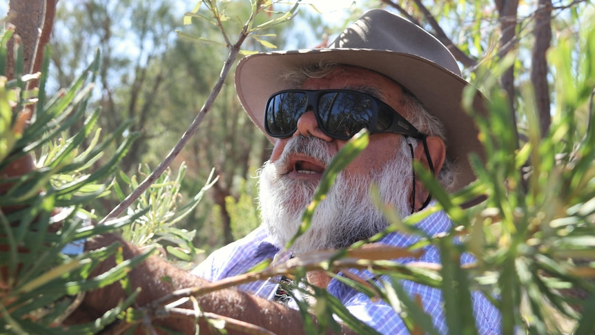 Man looks at leaves on banksia tree