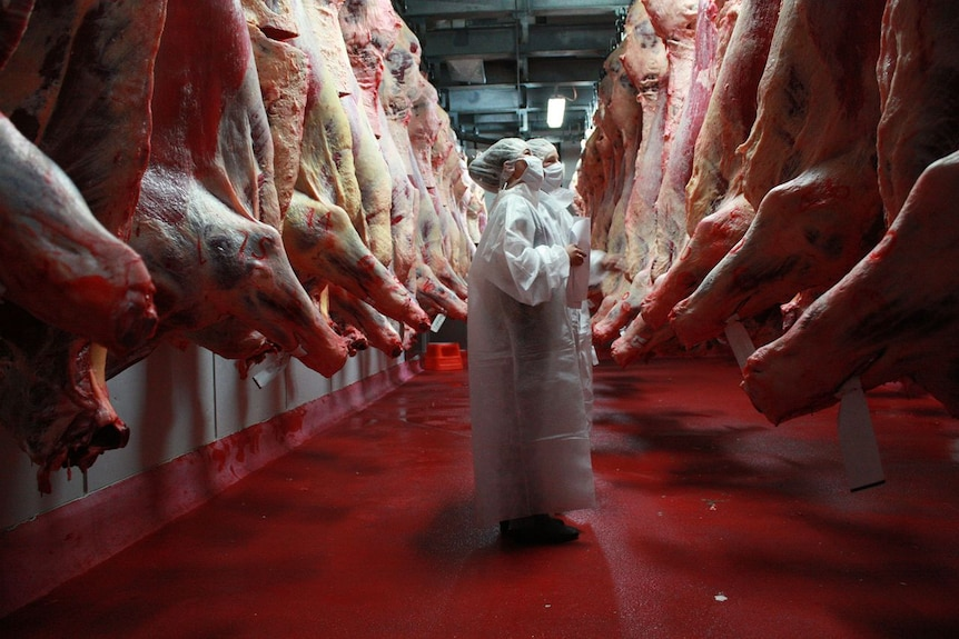 Two students, wearing white, stand amid hanging carcases at beef week