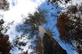 Tall tree Centurion burnt after 2019 Tasmanian bushfires