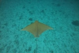 The tan coloured two metre ray has a unique spotted pattern on it's back and a very long tail without a barb.