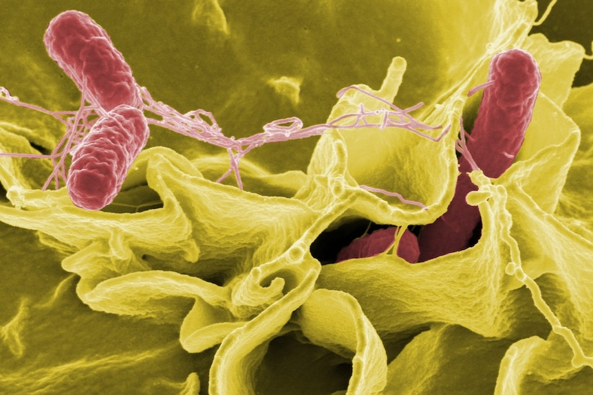 A computer generated image of salmonella bacteria invading an immune cell.