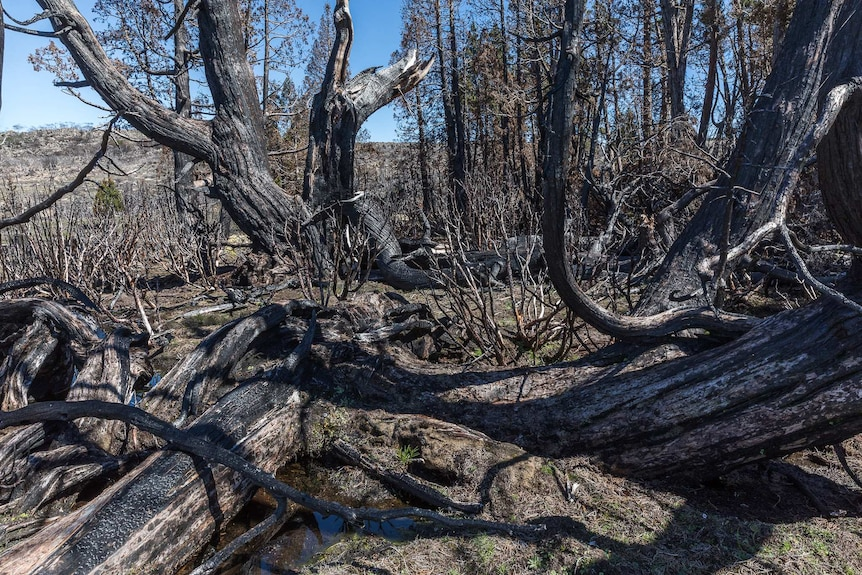 Ancient pencil pines have no ability to regenerate after the bushfire which devastated the wilderness WHA in 2016
