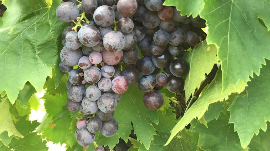 Grapes generic